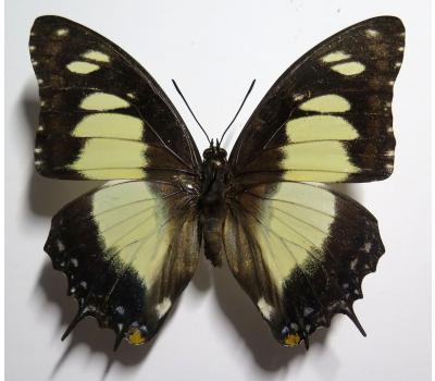 Charaxes superbus female *Gabon*