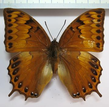 Charaxes layardi FEMALE *New Britain*