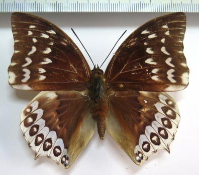Charaxes durnfordi connectens male *Billiton Isl*