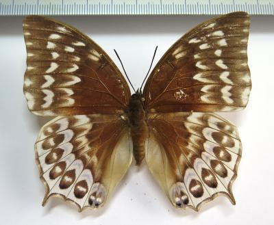 Charaxes durnfordi connectens FEMALE *Billiton Isl*