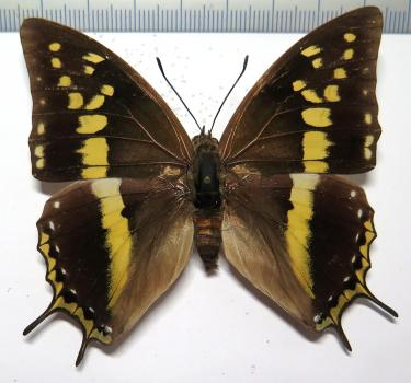 Charaxes solon orchomenus FEMALE *Palawan*