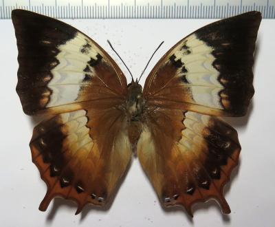 Charaxes bupalus FEMALE *Palawan*