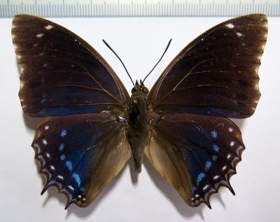 Charaxes mixtus male *Cameroon*