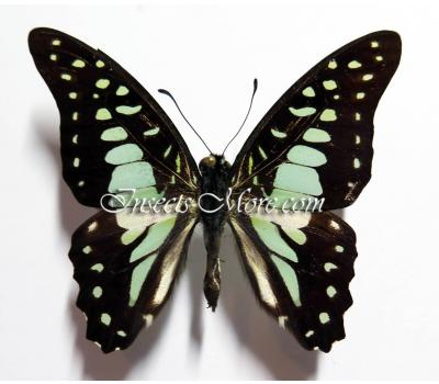 Graphium	chironides bathycloides male *Sumatra*