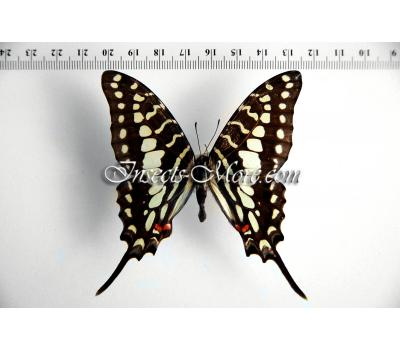 Graphium antheus female  *Central Africa*