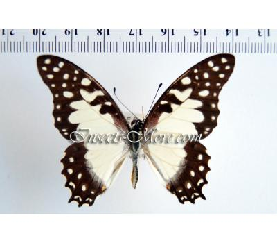 Graphium angolanus pylades male  *Central Africa*