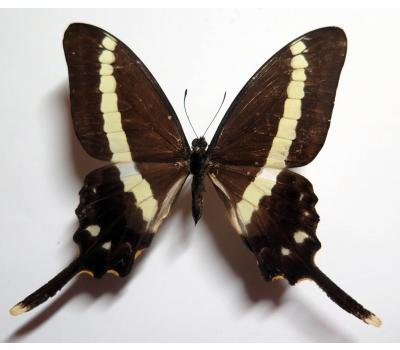 Graphium illyris giradeaui male *Central Africa*