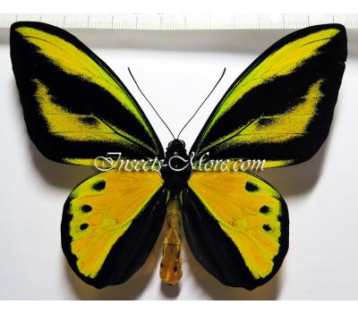 Ornithoptera tithonus misresiana x O.goliath samson male HYBRID *Indonesia*