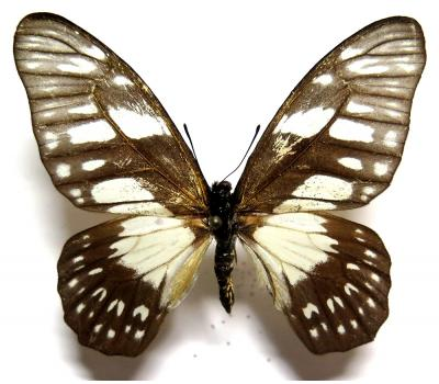 Graphium adamastor male *Central Africa*