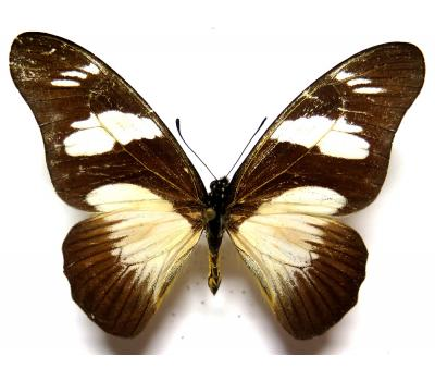 Graphium almansor carchedonius male *Central Africa*