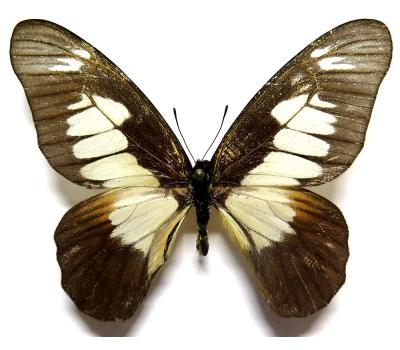 Graphium odin schubotzi male *Central Africa*