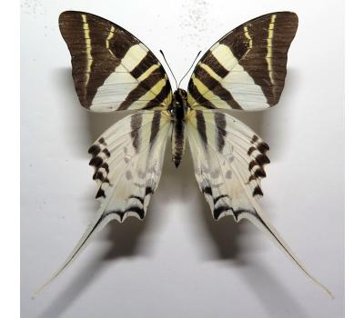 Graphium androcles female *Sulawesi*