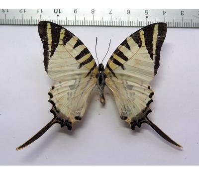 Graphium antiphates pompilius male *India*