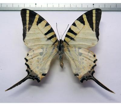 Graphium antiphates pompilius female *India*