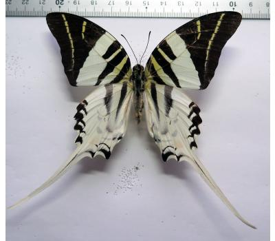 Graphium androcles male *Sulawesi*