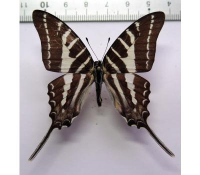 Graphium aristeus hermocrates male *Philippines*