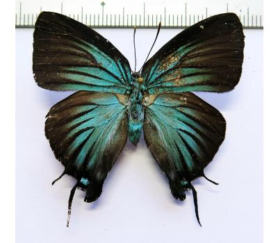 Atlides polybe ssp. female *Colombia*