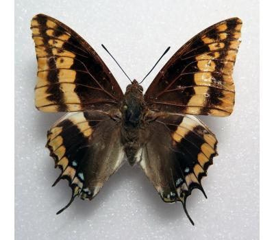 Charaxes legeri male *Nigeria*