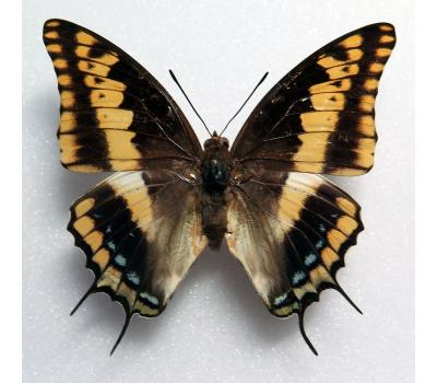 Charaxes legeri female *Nigeria*