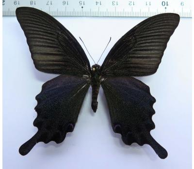 Papilio dialis andronicus male *Taiwan*