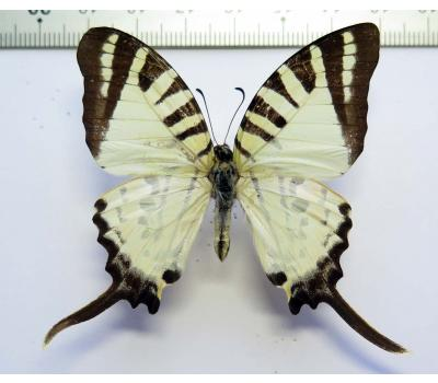 Graphium antiphates kaladensis male, ABerration *Lombok Island*