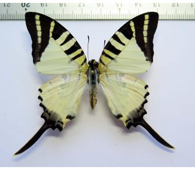 Graphium antiphates itamputi male *Sumatra*