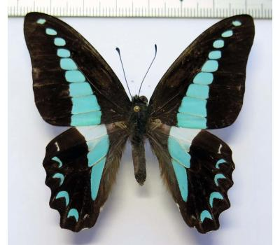 Graphium anthedon crudus male *Obi*
