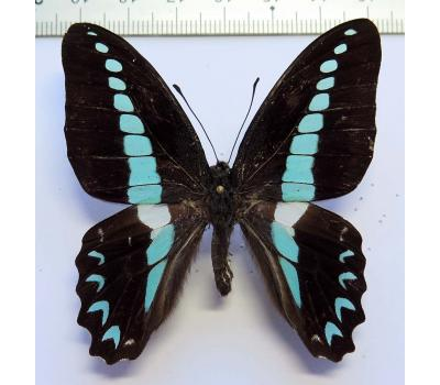 Graphium anthedon dodingensis male *Bacan*