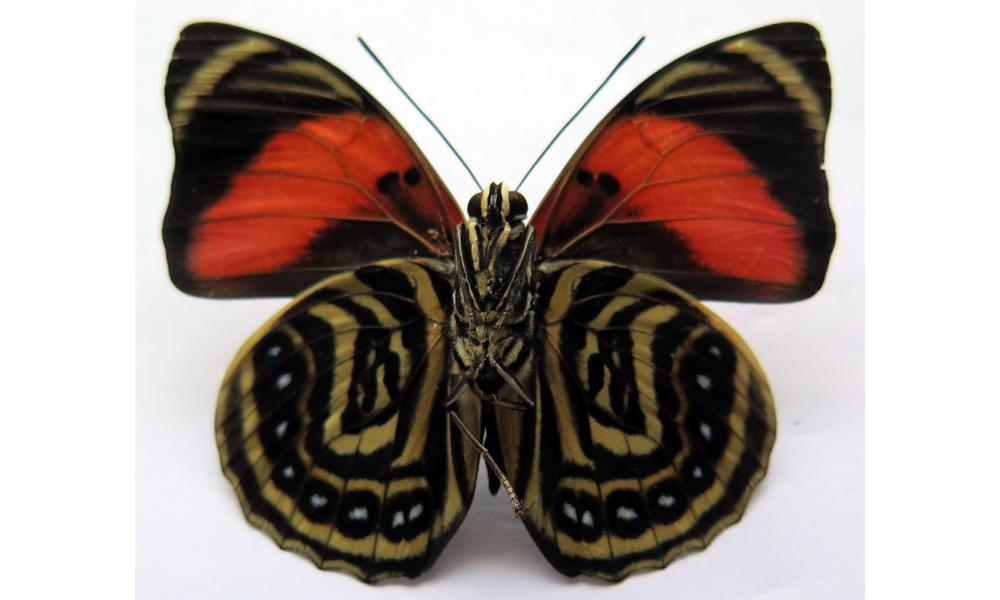 Agrias amydon athenais male red form *West Ecuador*