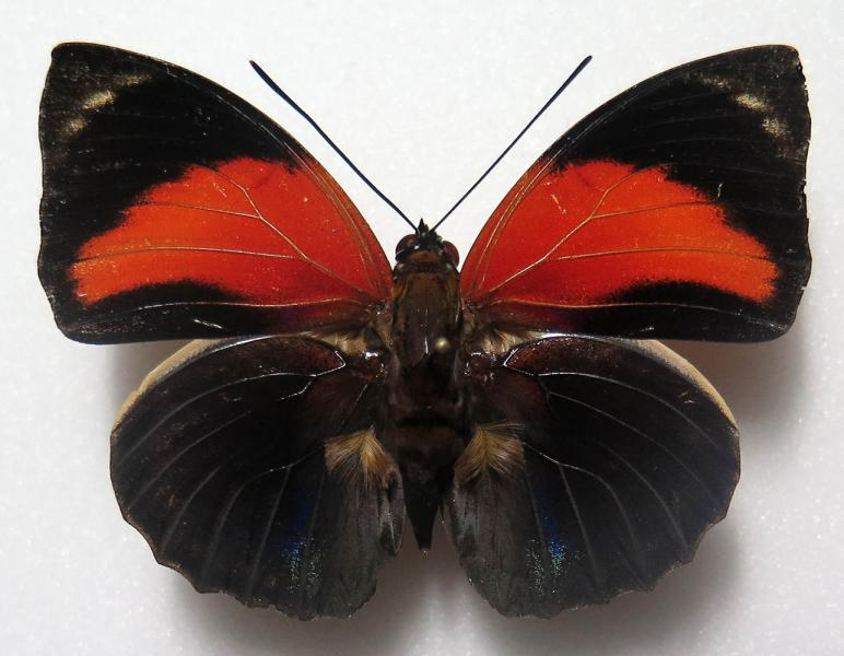 Agrias pericles mauensis male f.extrema *Brasil*