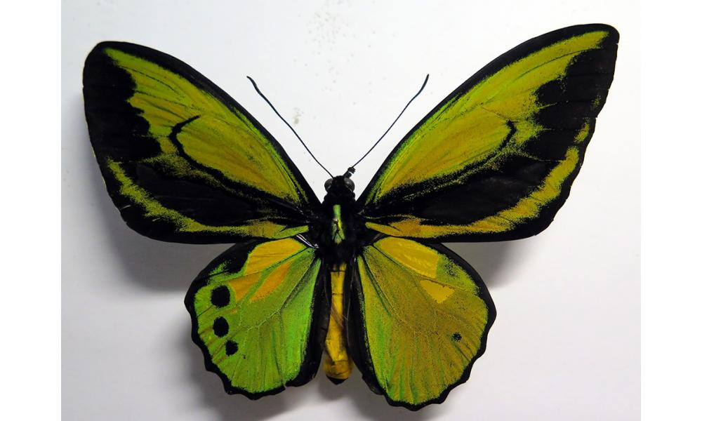 Ornithoptera croesus x priamus OUTSTANDING MALE MIX FORM!!! *Indonesia*