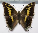 Charaxes solon solon male *India*