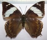 Charaxes montieri female  *SAO TOME*