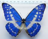 Morpho cypris cypris male *Colombia*