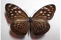 Euploea mulciber basilissa female *Java*