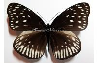Euploea martinii ssp. female *Mt.Dempo*