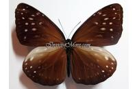 Euploea phaenareta hollandi female *Buru*