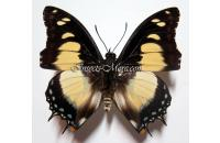 Charaxes superbus male  *Gabon*