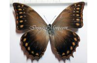 Morpho theseus justitiae male *Mexico*