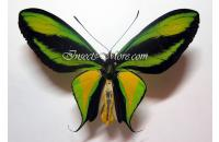 Ornithoptera paradisea occidentalis male *Sorong*