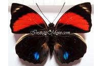 Agrias amydon zenodorus male red form *Ecuador*