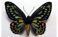 Ornithoptera priamus euphorion male,ABERRATION *Queensland*