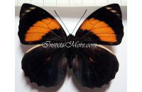 Agrias amydon athenais female, orange in hindwings! *West Ecuador*